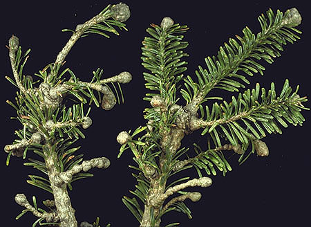 The Christmas Tree: Traditions, Production, and Diseases