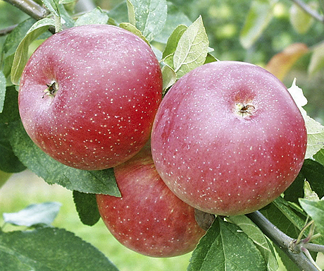 Factors Limiting IPM-Compatibility of New Disease Control Tactics for Apples in Eastern United States