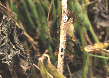 Effect of Diseases on Soybean Yields in the United States and Ontario (1999 to 2002)