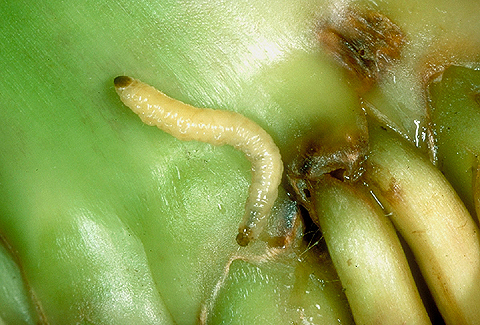 Transgenic Rootworm Corn: Assessing Potential Agronomic, Economic, and Environmental Benefits