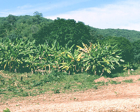 Panama Disease: An Old Nemesis Rears its Ugly Head - Part 2. The Cavendish Era and Beyond