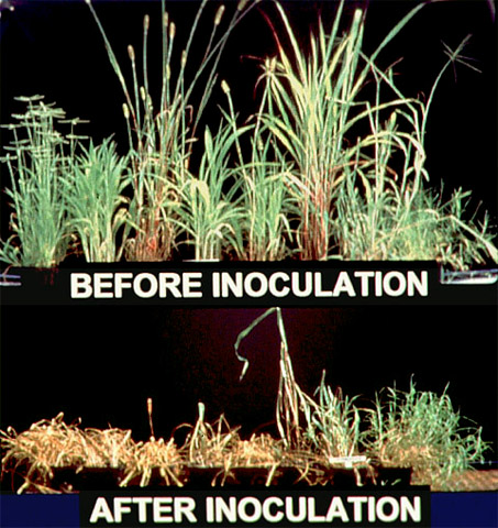 Plant Pathogens at Work: Improving Weed Control Efficacy