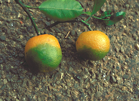 Citrus Huanglongbing: The Pathogen and Its Impact