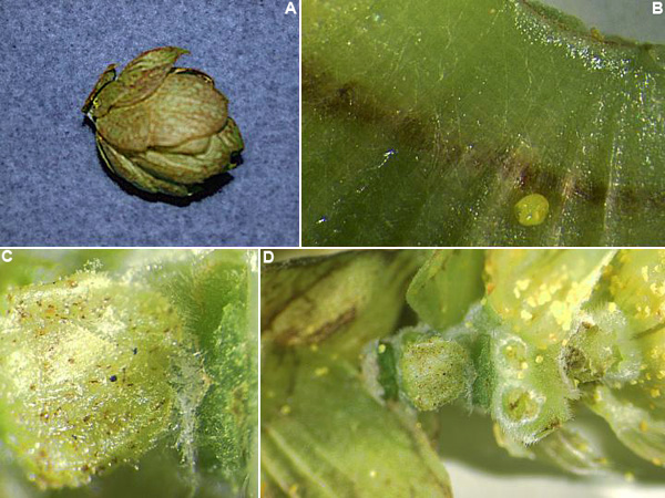 A Decade of Hop Powdery Mildew in the Pacific Northwest