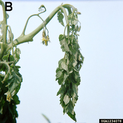 <i>Ralstonia solanacearum</i> Race 3 Biovar 2 Causes Tropical Losses and Temperate Anxieties