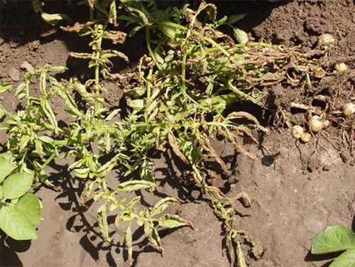 Potato Zebra Chip Disease: A Phytopathological Tale