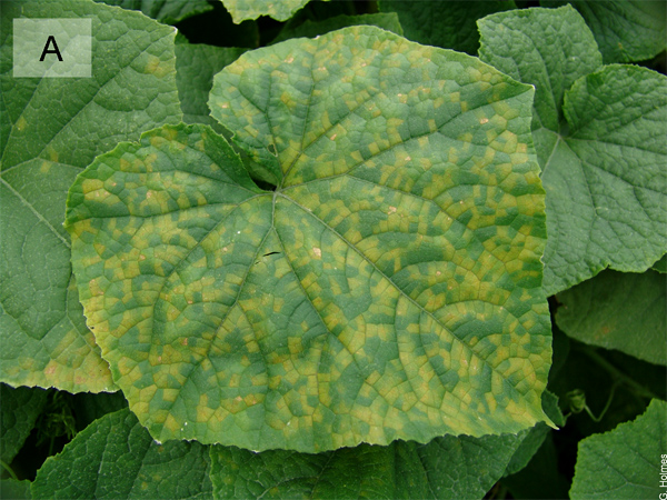 Cucurbit Downy Mildew ipmPIPE: A Next Generation Web-based Interactive Tool for Disease Management and Extension Outreach