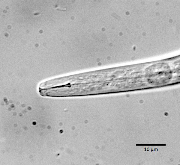 Foliar Nematodes: A Summary of Biology and Control with a Compilation of Host Range