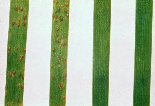 Historical Durability of Resistance to Wheat Diseases in Kansas