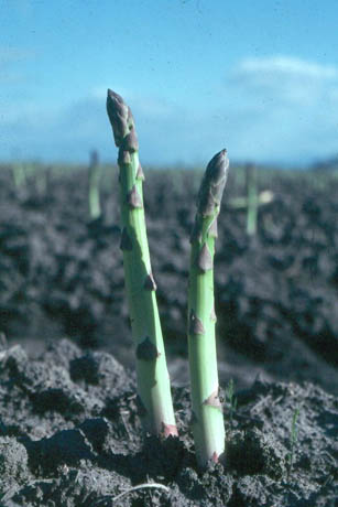 The Economically Important Diseases of Asparagus in the U.S.