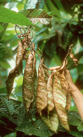 The Impact of Plant Diseases on World Chocolate Production