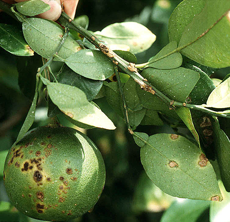 Citrus Canker: The Pathogen and Its Impact
