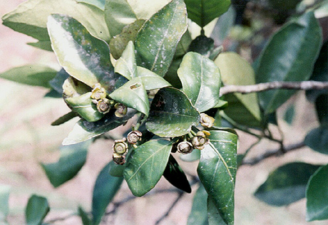 A Fungicide Application Decision (FAD) Support System for Postbloom Fruit Drop of Citrus (PFD)
