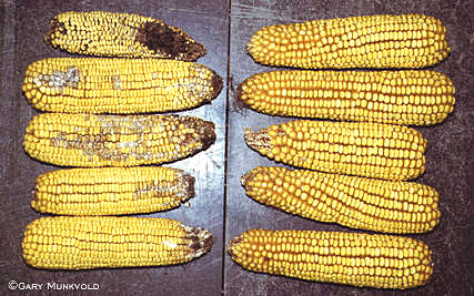 Genetically Modified, Insect Resistant Maize: Implications for Management of Ear and Stalk Diseases