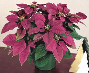 The History and Diseases of Poinsettia, the Christmas Flower