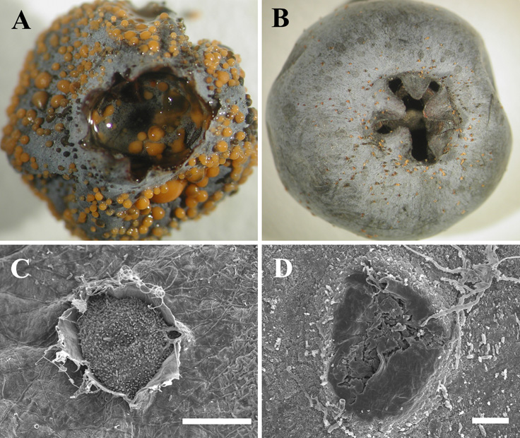 Host Defenses Associated with Fruit Infection by <i>Colletotrichum</i> Species with an Emphasis on Anthracnose of Blueberries
