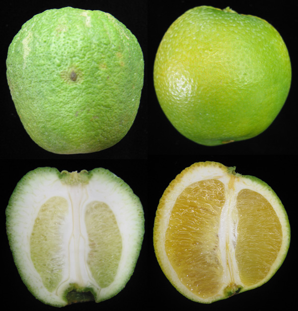 New Perspectives on the Epidemiology of Citrus Stubborn Disease in California Orchards