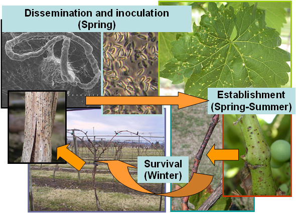 Evaluations of New and Current Management Strategies to Control Phomopsis Cane and Leaf Spot of Grape
