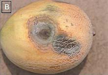 the characteristics and management of the infection of plant species caused by phytophthora capsici  As many are aware, this pathogen infected potatoes across europe in the 1840s,   scientists still struggle to control this disease  phytophthora species are in  the oomycete group of fungi, often referred to as the water molds  the new  classification of the oomycetes identifies these plant pathogens as.