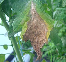 Managing Botrytis Gray Mold in Greenhouse Tomatoes Using Traditional