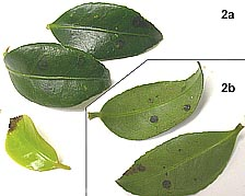 Susceptibility of Camellia to Phytophthora ramorum