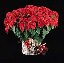 Poinsettia History And Diseases